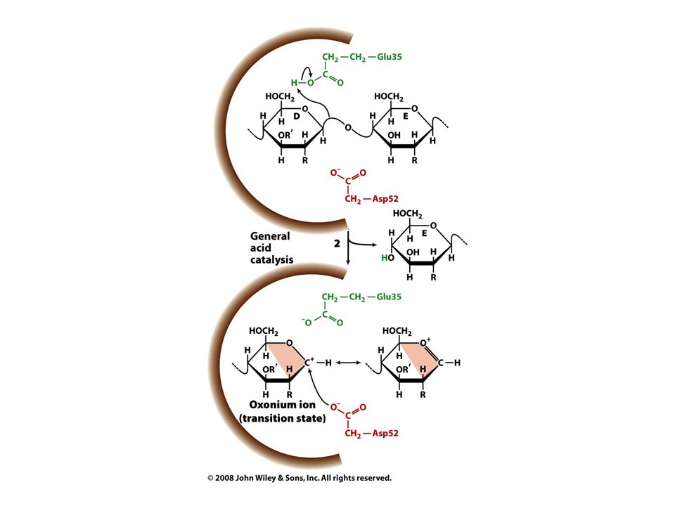 Penicillin Penicillin – 1928 Alexander Fleming Disrupts synthesis of peptidoglycans by transpeptidase –Used for bacterial cell walls Lactam ring is highly reactive