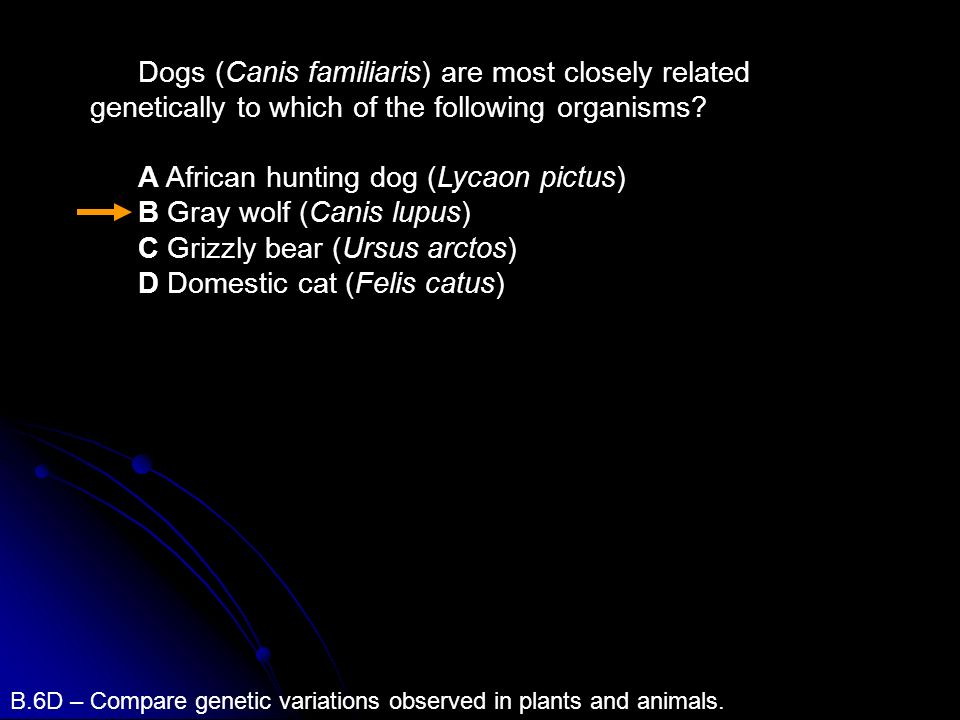 Dogs (Canis familiaris) are most closely related genetically to which of the following organisms? A African hunting dog (Lycaon pictus) B Gray wolf (C
