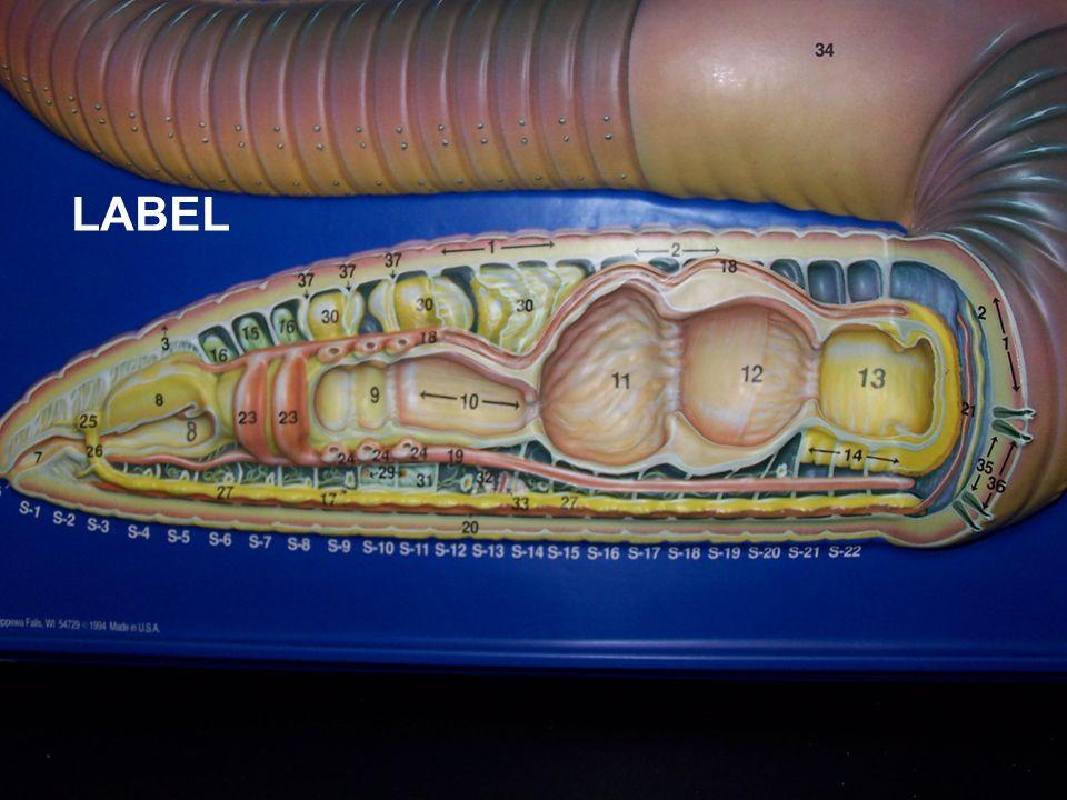 Answers 6.Mouth 8. Pharynx 9. Esophagus 10. Calciferous glands 11.