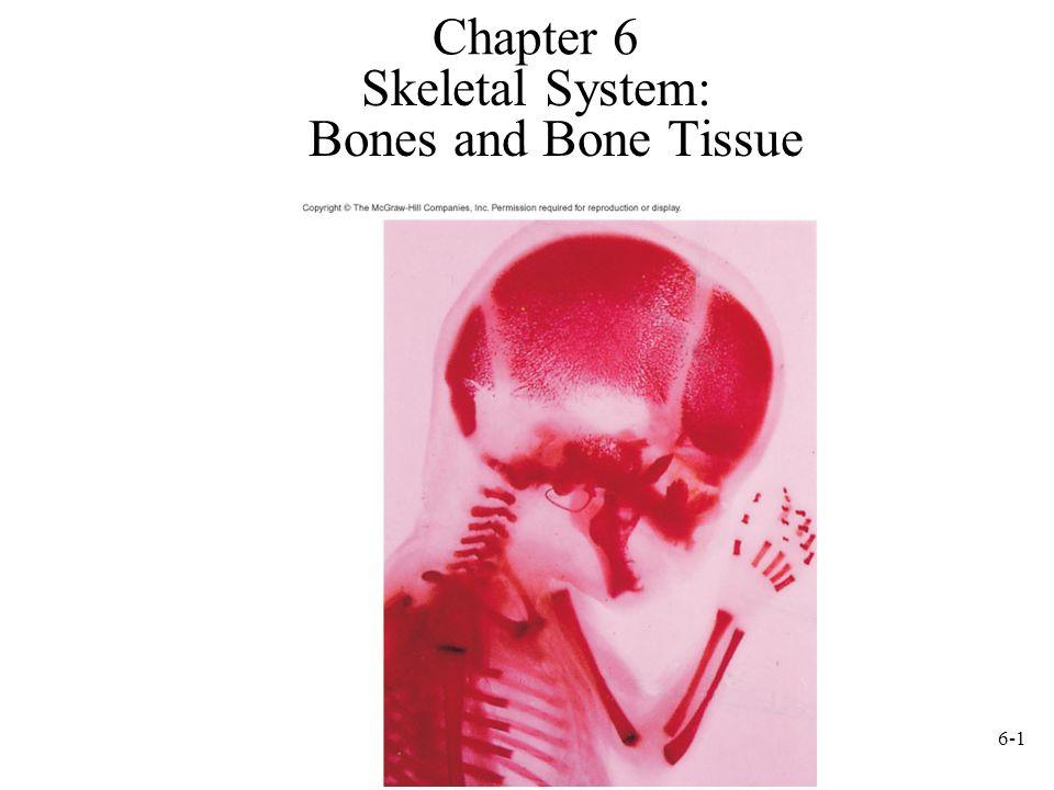 6-1 Chapter 6 Skeletal System: Bones and Bone Tissue