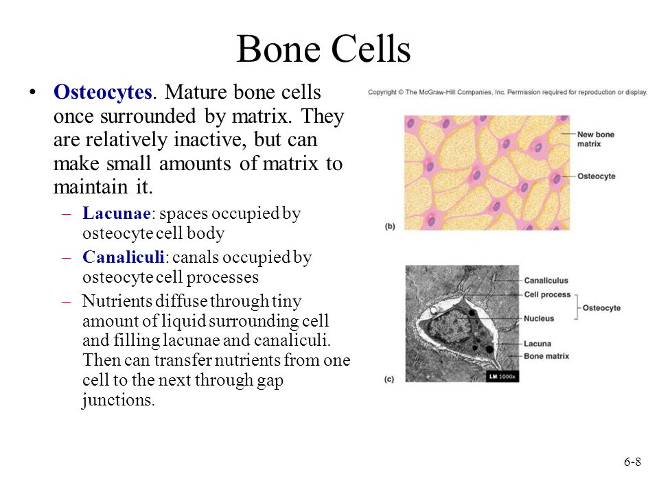 6-8 Bone Cells Osteocytes. Mature bone cells once surrounded by matrix. They are relatively inactive, but can make small amounts of matrix to maintain
