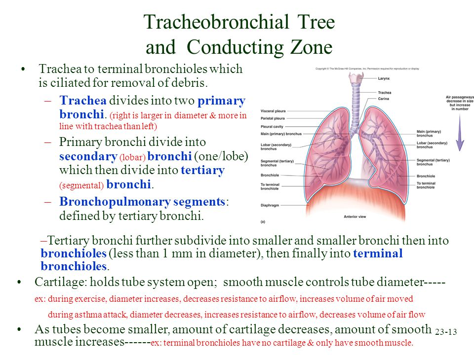 23-13 Tracheobronchial Tree and Conducting Zone Trachea to terminal bronchioles which is ciliated for removal of debris. –Trachea divides into two pri