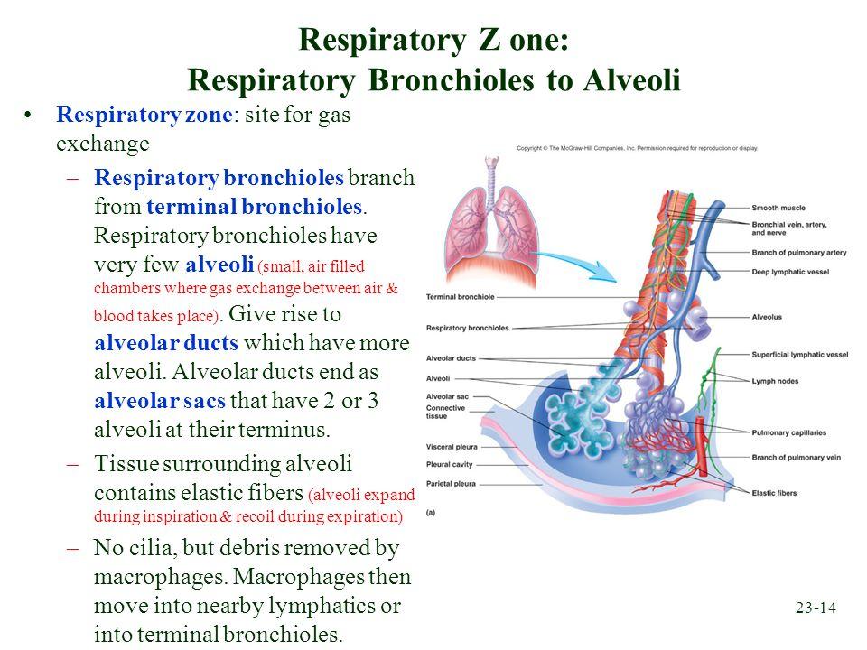 23-14 Respiratory Z one: Respiratory Bronchioles to Alveoli Respiratory zone: site for gas exchange –Respiratory bronchioles branch from terminal bron