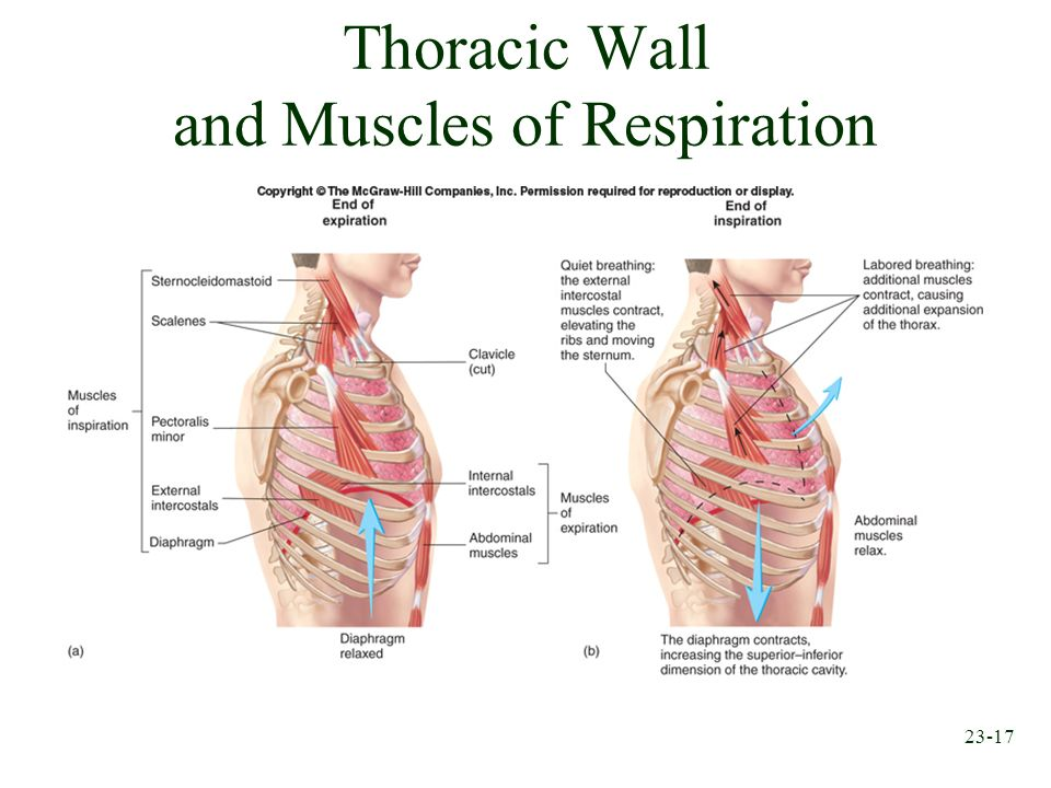23-17 Thoracic Wall and Muscles of Respiration