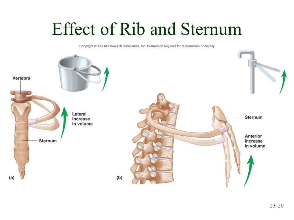 23-20 Effect of Rib and Sternum