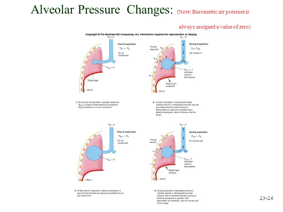 23-24 Alveolar Pressure Changes: (Note: Barometric air pressure is always assigned a value of zero)