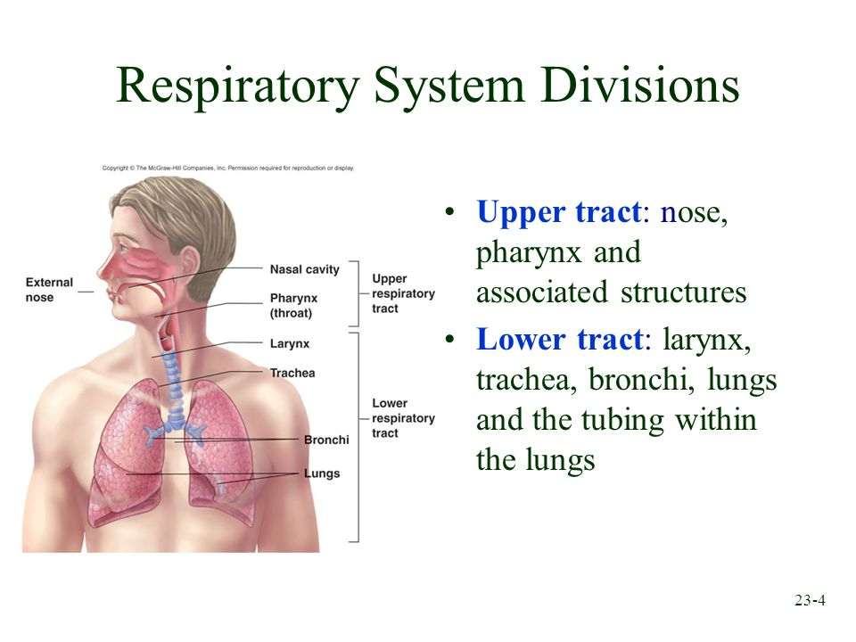 23-4 Respiratory System Divisions Upper tract: nose, pharynx and associated structures Lower tract: larynx, trachea, bronchi, lungs and the tubing wit