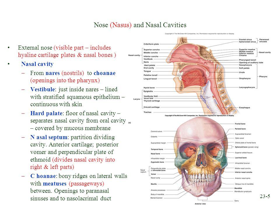 23-5 Nose (Nasus) and Nasal Cavities External nose (visible part – includes hyaline cartilage plates & nasal bones ) Nasal cavity –From nares (nostril