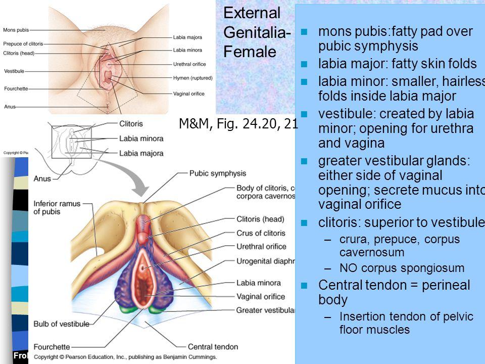Frolich, Human Anatomy, Pelvis I mons pubis:fatty pad over pubic symphysis labia major: fatty skin folds labia minor: smaller, hairless folds inside l
