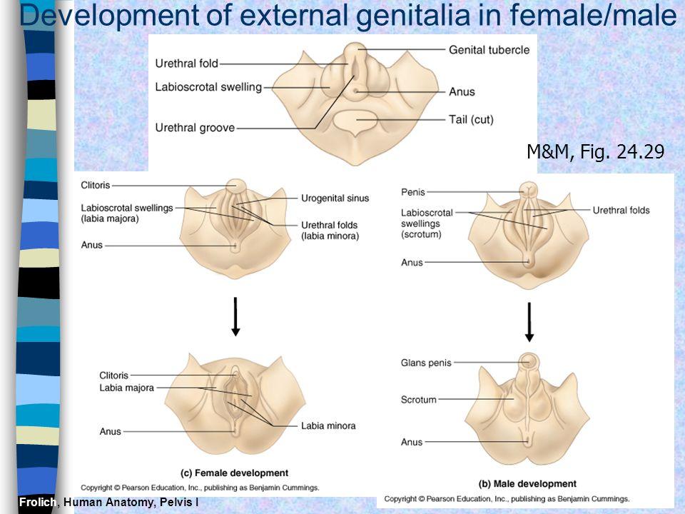 Frolich, Human Anatomy, Pelvis I Development of external genitalia in female/male M&M, Fig. 24.29