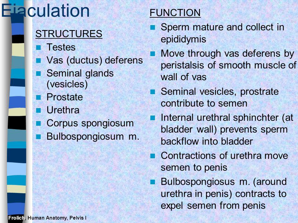 Frolich, Human Anatomy, Pelvis I Ejaculation STRUCTURES Testes Vas (ductus) deferens Seminal glands (vesicles) Prostate Urethra Corpus spongiosum Bulb