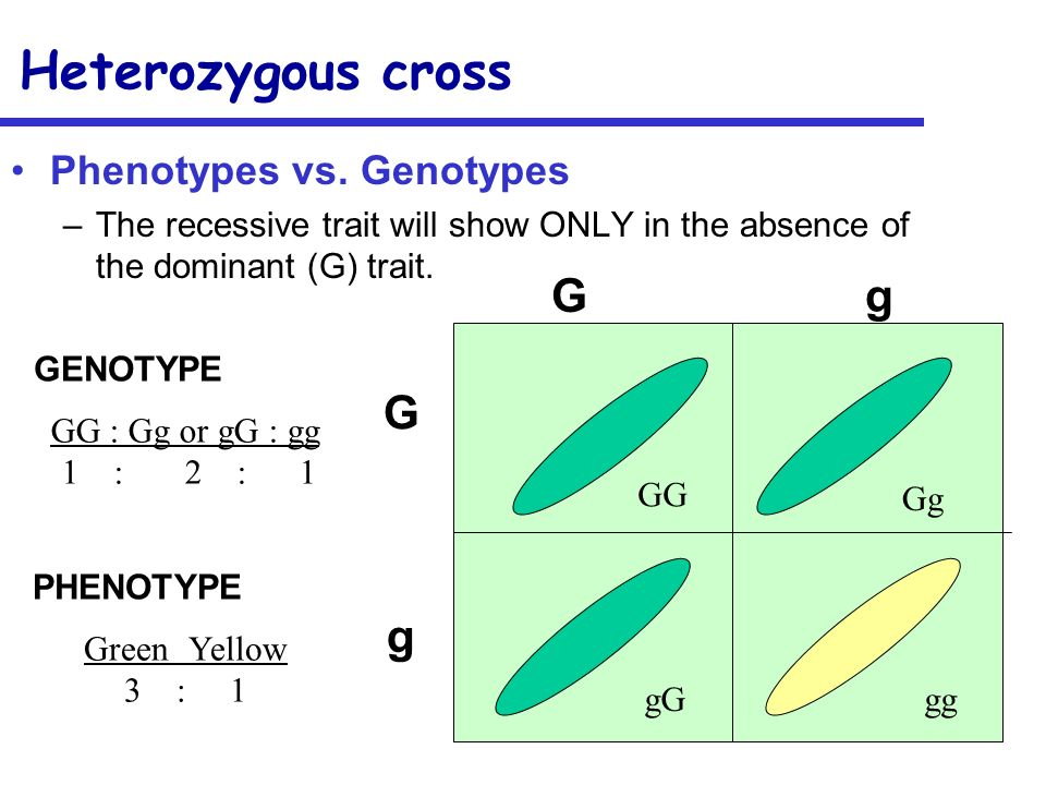 Heterozygous cross Phenotypes vs. Genotypes –The recessive trait will show ONLY in the absence of the dominant (G) trait. GgGg GgGg GG Gg gggG GG : Gg