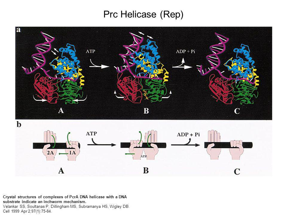 Crystal structures of complexes of PcrA DNA helicase with a DNA substrate indicate an inchworm mechanism.