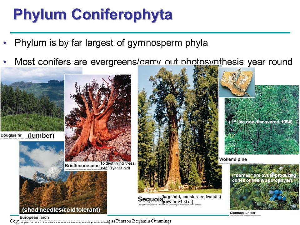 Phylum Coniferophyta Characteristics Phylum Coniferophyta