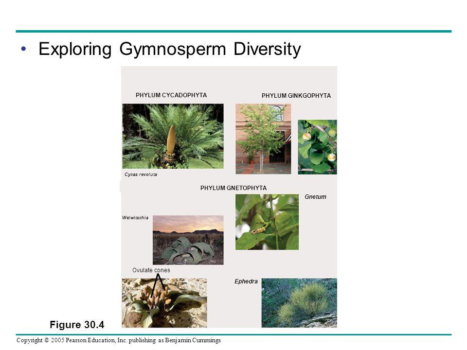 Copyright © 2005 Pearson Education, Inc. publishing as Benjamin Cummings Exploring Gymnosperm Diversity Figure 30.4 Gnetum Ephedra Ovulate cones Welwi