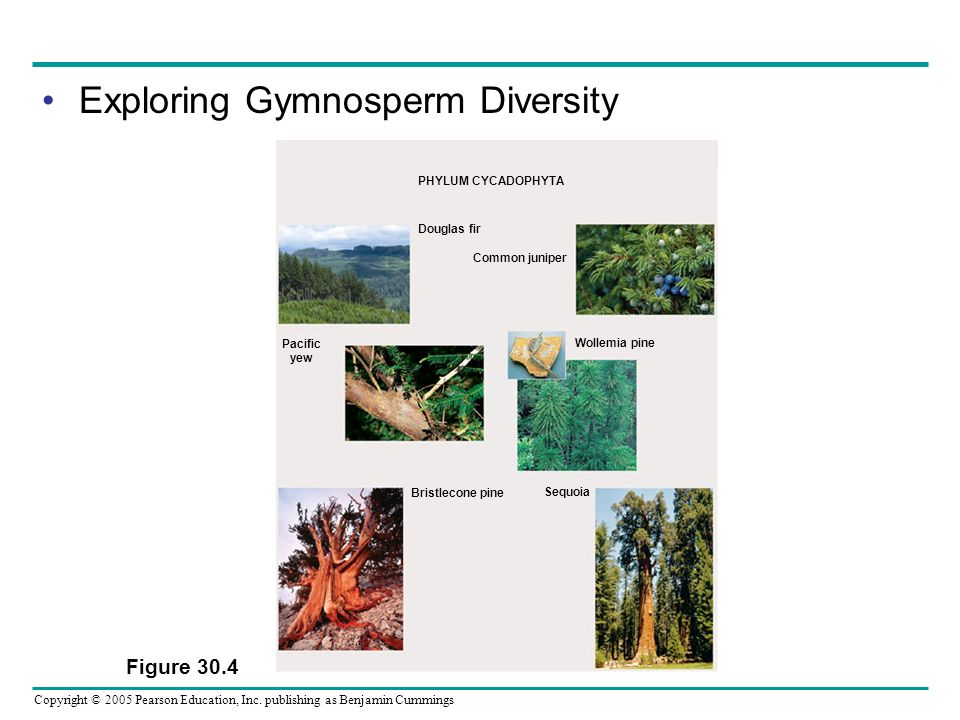 Copyright © 2005 Pearson Education, Inc. publishing as Benjamin Cummings Exploring Gymnosperm Diversity Figure 30.4 Douglas fir Pacific yew Common jun