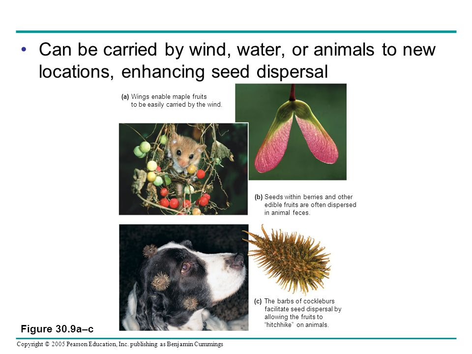 Copyright © 2005 Pearson Education, Inc. publishing as Benjamin Cummings Can be carried by wind, water, or animals to new locations, enhancing seed di