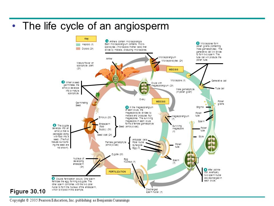 Copyright © 2005 Pearson Education, Inc. publishing as Benjamin Cummings The life cycle of an angiosperm Figure 30.10 Key Mature flower on sporophyte