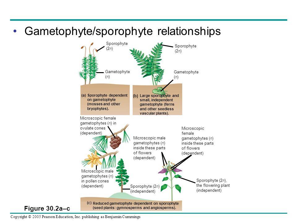 Copyright © 2005 Pearson Education, Inc. publishing as Benjamin Cummings Gametophyte/sporophyte relationships Figure 30.2a–c Sporophyte dependent on g