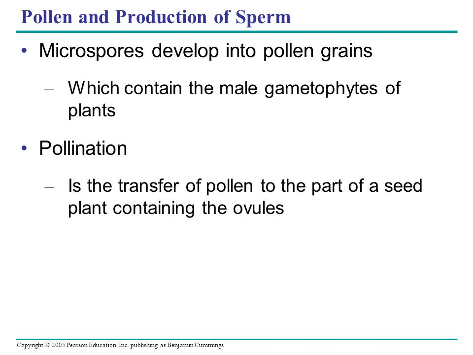 Copyright © 2005 Pearson Education, Inc. publishing as Benjamin Cummings Pollen and Production of Sperm Microspores develop into pollen grains – Which