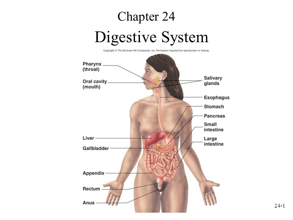 24-2 Digestive System Anatomy Digestive tract: also called alimentary tract or canal –GI tract: technically refers to stomach and intestines Accessory organs –Primarily glands, secrete fluids into tract Regions –Mouth or oral cavity with salivary glands and tonsils –Pharynx (throat) with tubular mucous glands –Esophagus with tubular mucous glands –Stomach with many different kinds of glands that are tubular –Small intestine (duodenum, ileum, jejunum) with liver, gallbladder and pancreas as major accessory organs –Large intestine including cecum, colon, rectum and anal canal with mucous glands –Anus