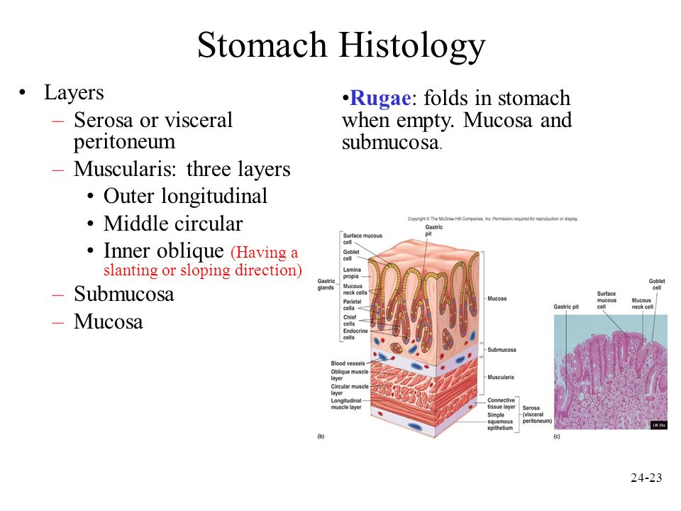 24-24 Stomach Histology Gastric pits: openings for gastric glands.