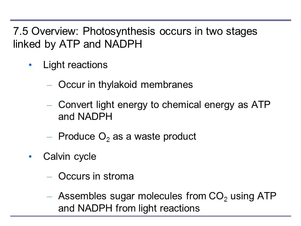 7.5 Overview: Photosynthesis occurs in two stages linked by ATP and NADPH Light reactions – Occur in thylakoid membranes – Convert light energy to che