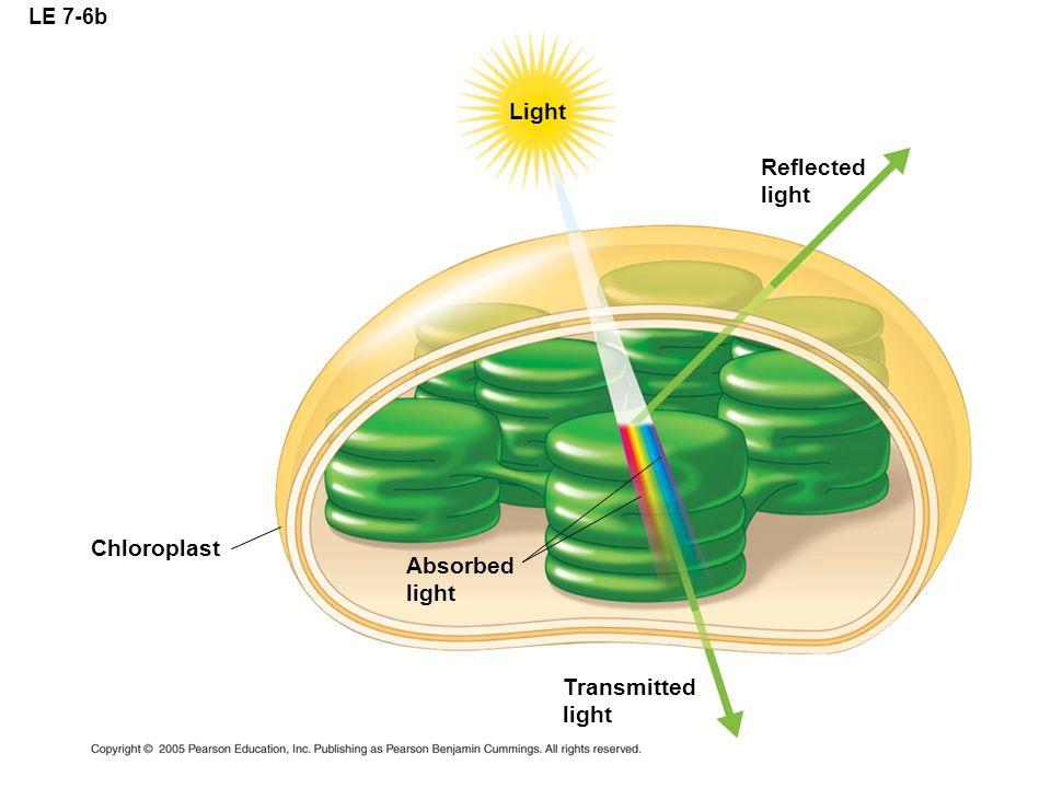 LE 7-6b Light Reflected light Absorbed light Chloroplast Transmitted light