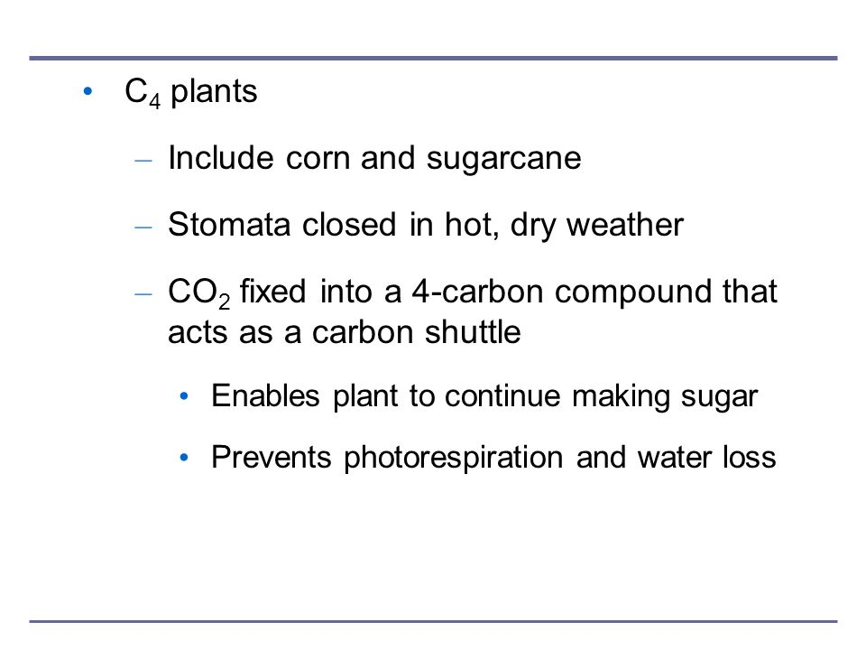 C 4 plants – Include corn and sugarcane – Stomata closed in hot, dry weather – CO 2 fixed into a 4-carbon compound that acts as a carbon shuttle Enabl