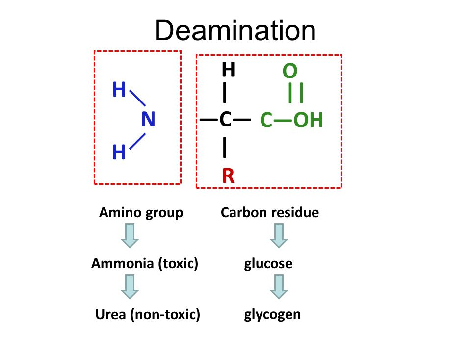 Fate of amino acids Amino acid metabolism Converted into protoplasm Used for growth & repair of worn- out parts Formation of enzymes & hormones Excess