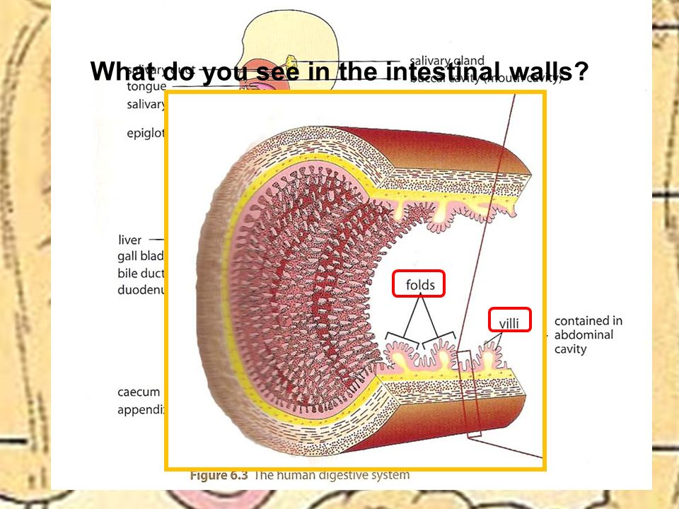 What do you see in the intestinal walls?