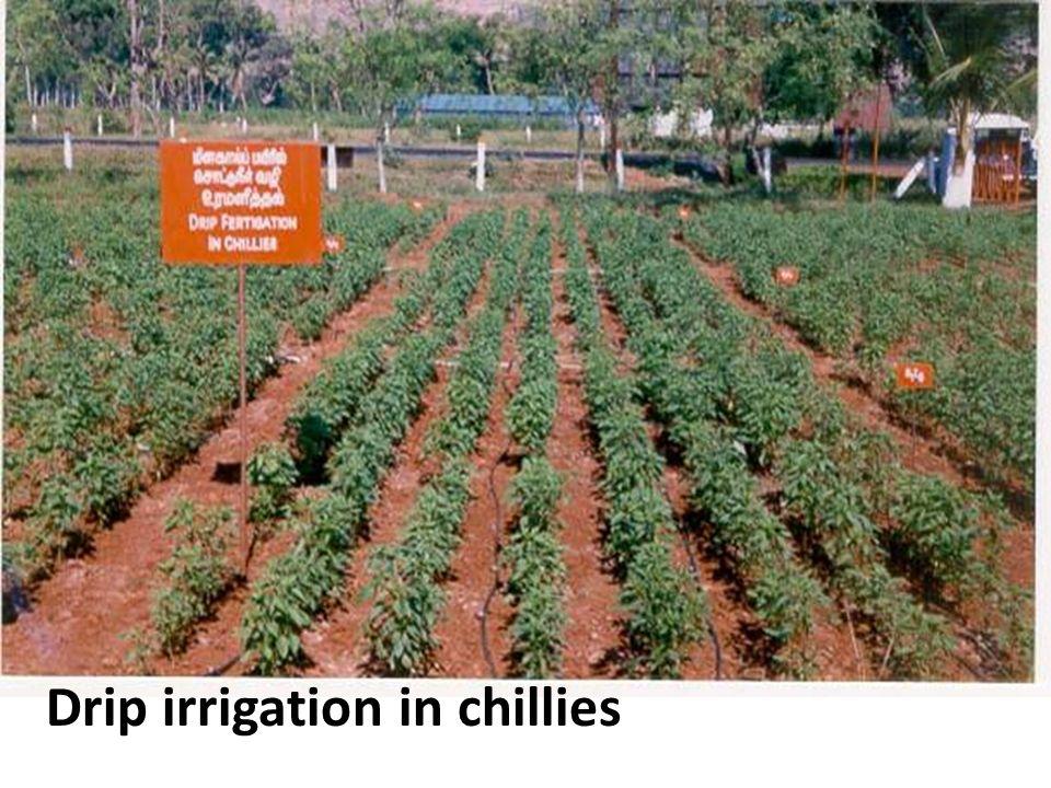 Drip irrigation in chillies