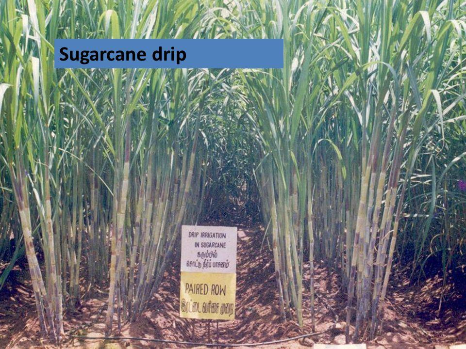 Sugarcane drip