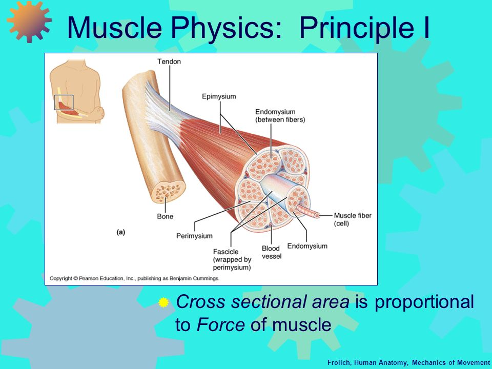 Frolich, Human Anatomy, Mechanics of Movement Muscle Physics: Principle I Cross sectional area is proportional to Force of muscle