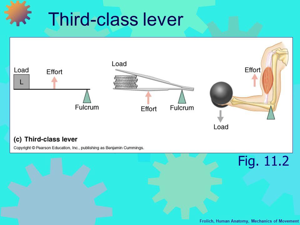 Frolich, Human Anatomy, Mechanics of Movement Third-class lever Fig. 11.2