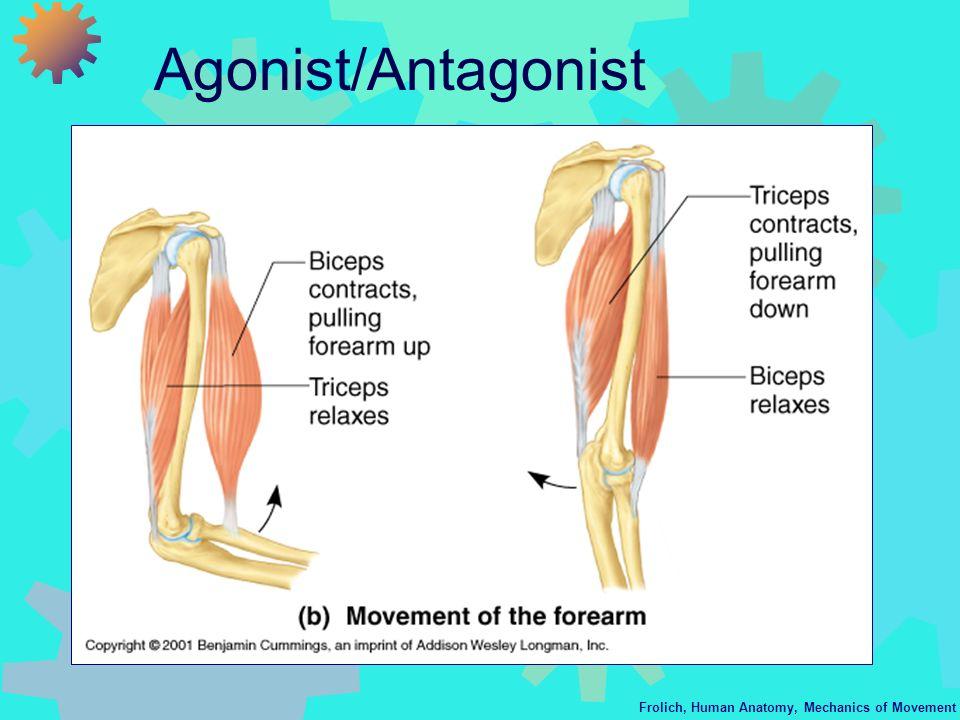Frolich, Human Anatomy, Mechanics of Movement Agonist/Antagonist
