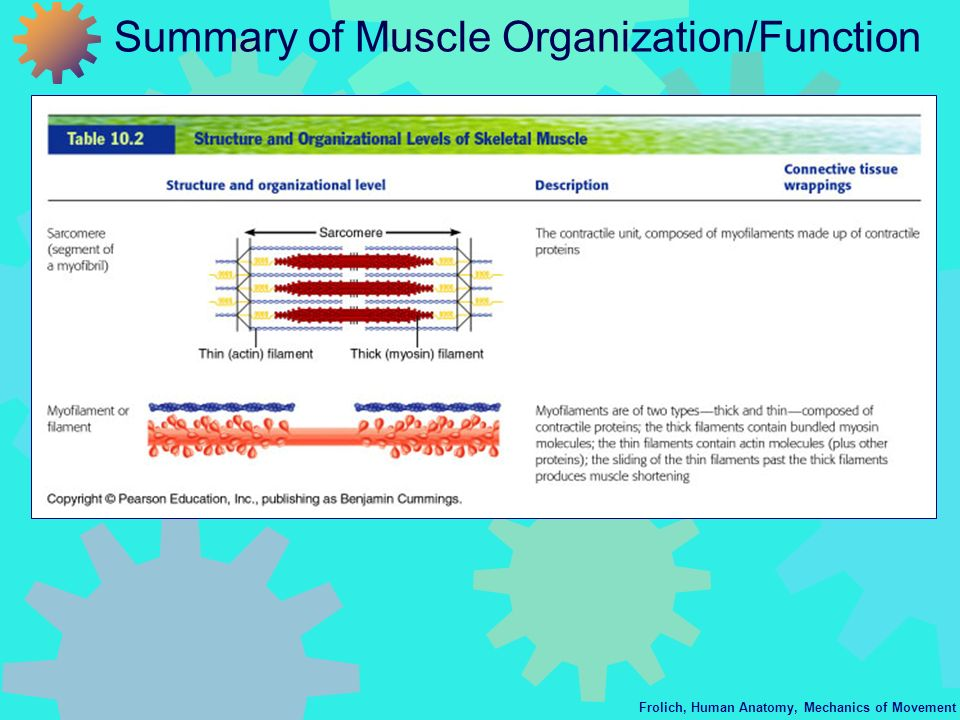 Frolich, Human Anatomy, Mechanics of Movement Summary of Muscle Organization/Function