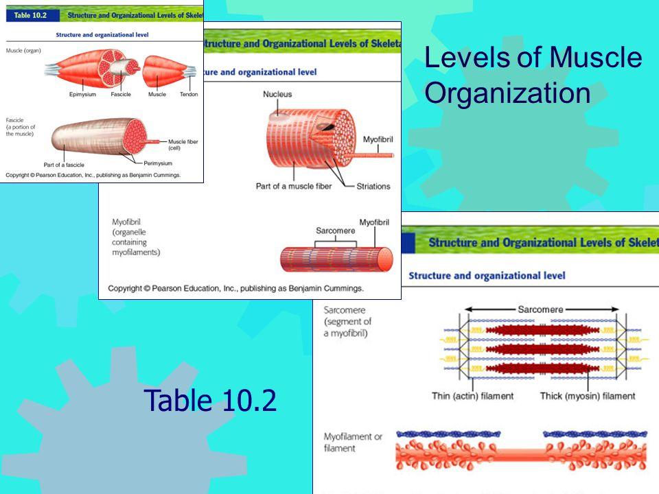 Frolich, Human Anatomy, Mechanics of Movement Table 10.2 Levels of Muscle Organization