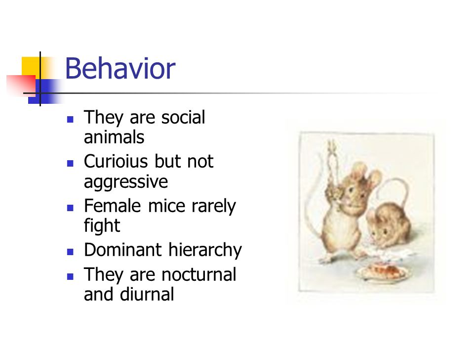 Behavior They are social animals Curioius but not aggressive Female mice rarely fight Dominant hierarchy They are nocturnal and diurnal