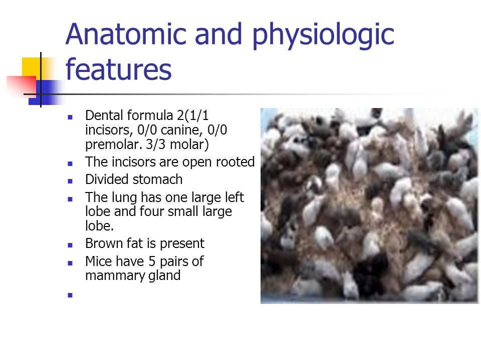 Anatomic and physiologic features Dental formula 2(1/1 incisors, 0/0 canine, 0/0 premolar.