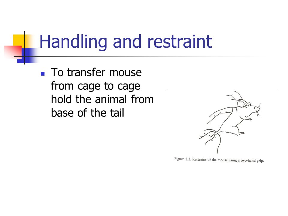 Handling and restraint To transfer mouse from cage to cage hold the animal from base of the tail