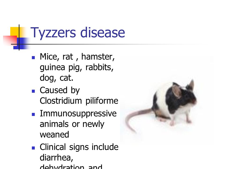 Tyzzers disease Mice, rat, hamster, guinea pig, rabbits, dog, cat.