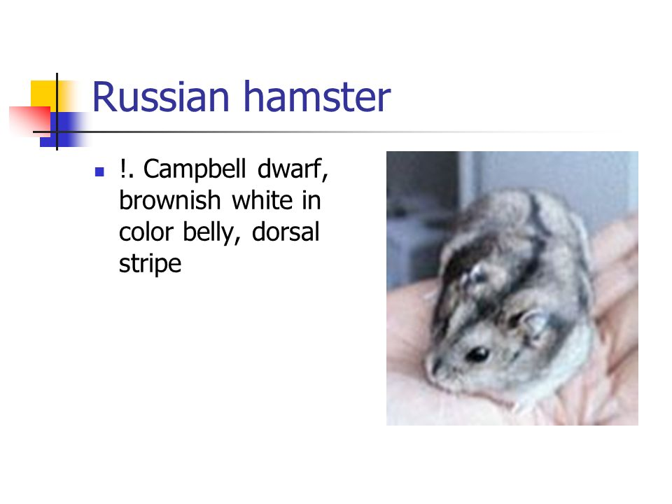 Russian hamster !. Campbell dwarf, brownish white in color belly, dorsal stripe