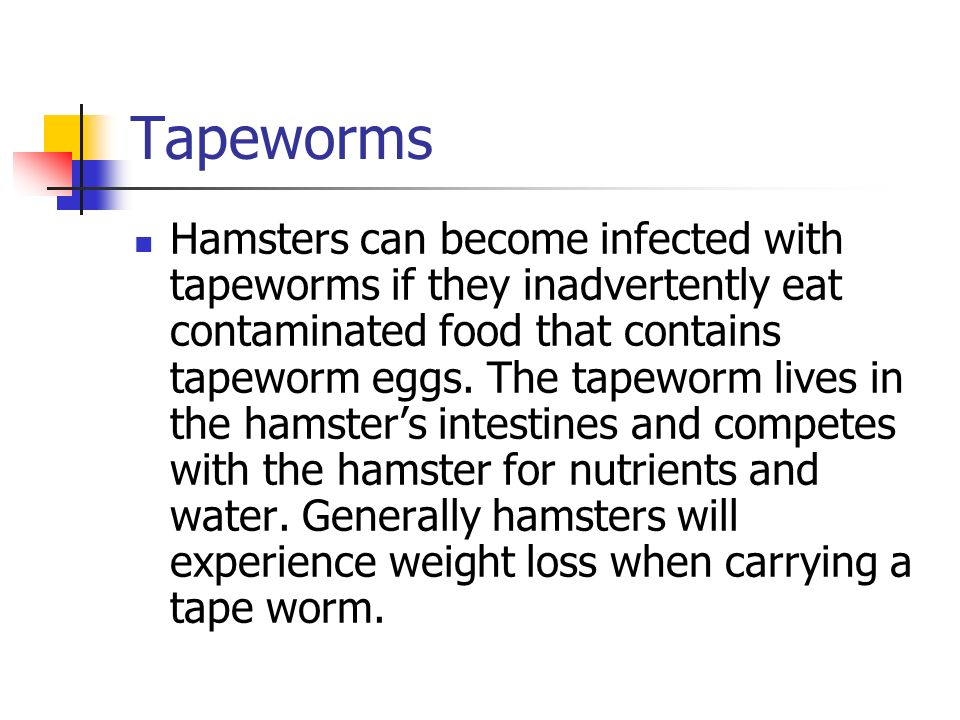 Tapeworms Hamsters can become infected with tapeworms if they inadvertently eat contaminated food that contains tapeworm eggs. The tapeworm lives in t