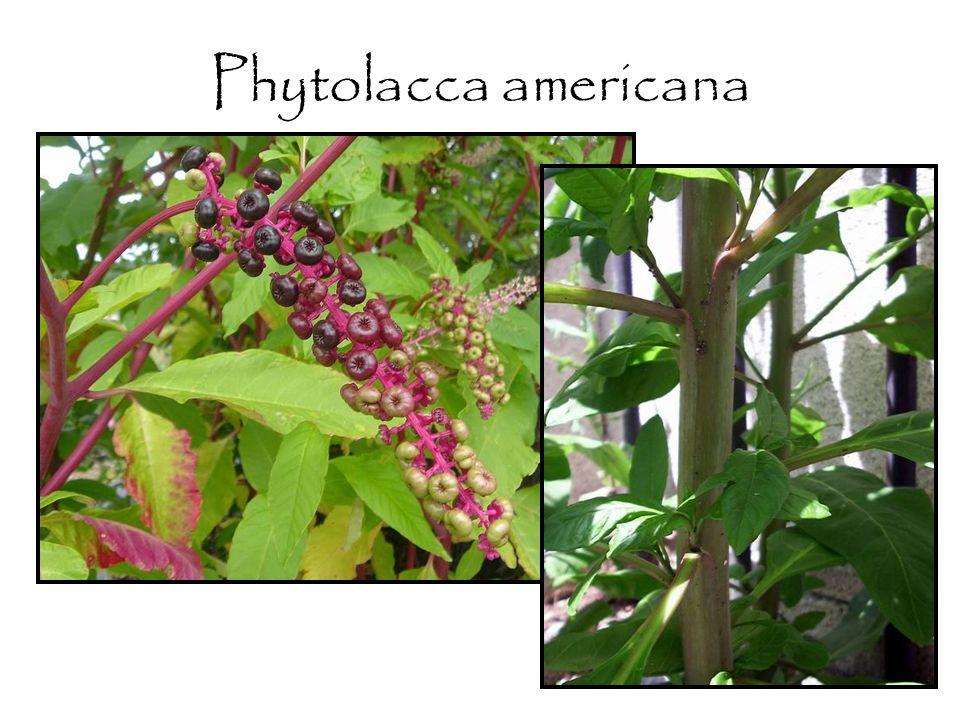 Stillingia sylvatica Prostatin (Diterpene ester) Hoxsey formula –Arctium –Glycyrrhiza –Frangula –Berberis –Stillingia –And more…