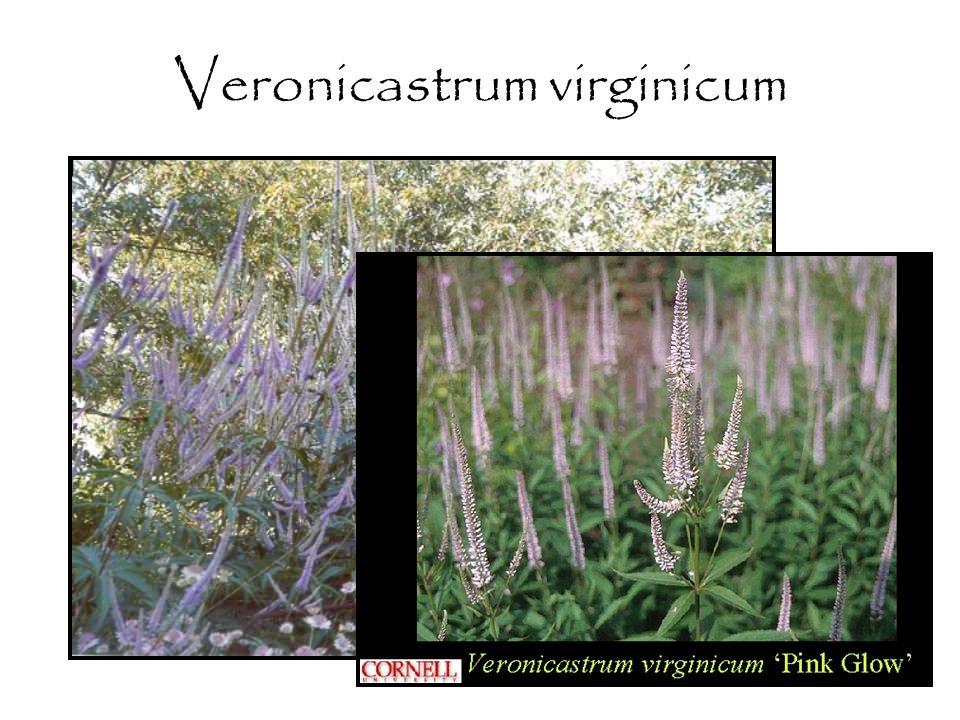 Veronicastrum virginicum