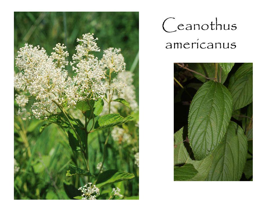 Ceanothus americanus
