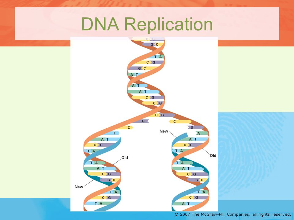 © 2007 The McGraw-Hill Companies, all rights reserved. DNA Replication