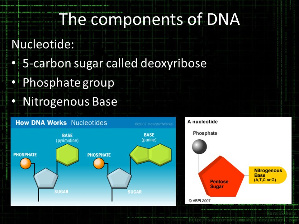 The components of DNA Nucleotide: 5-carbon sugar called deoxyribose Phosphate group Nitrogenous Base