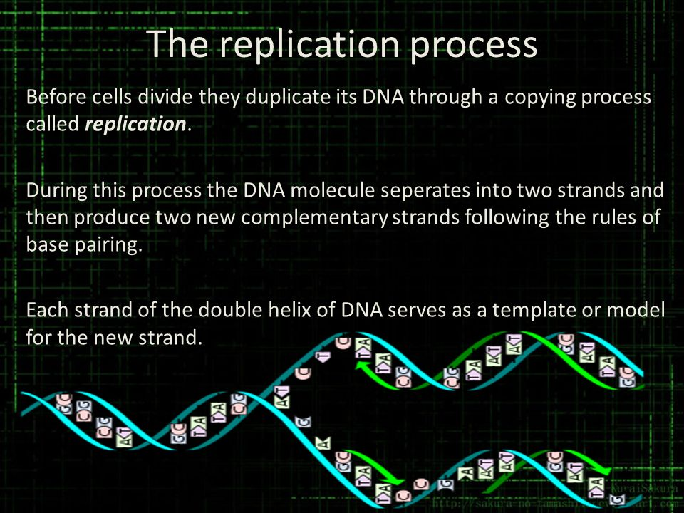 The replication process Before cells divide they duplicate its DNA through a copying process called replication. During this process the DNA molecule